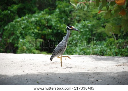 Yellow-crested night heron stalking along a white sand beach in the Caribbean