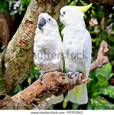 Yellow-crested white Cockatoo (Cacatua galerita and Cacatua sulphurea) Parrot in nature surrounding, Bali, Indonesia