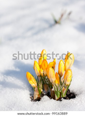 Yellow crocus (Crocus flavus) in snow