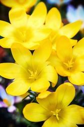 yellow crocus spring flower blooming. shallow depth of field. Soft focus