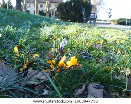 Yellow Crocuses at a park, Szczecin West Pomerania, Poland, Plac Jasne Błonia im. Jana Pawła II Zdjęcia stock ©
