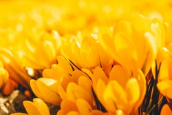 Yellow crocuses in the early spring. High quality photo