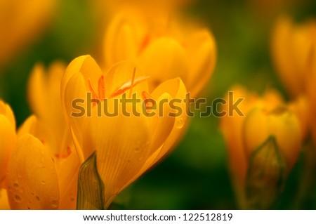 Yellow Crocuses With Rain Drops, Shallow DOF, Soft focus.