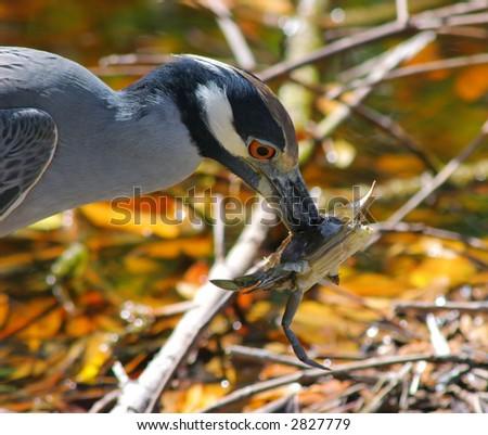 Yellow Crowned Night Heron impaling crab with beak