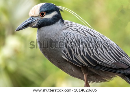 yellow-crowned night heron,Nyctanassa violacea, is one of two species of night herons found in the Americas,