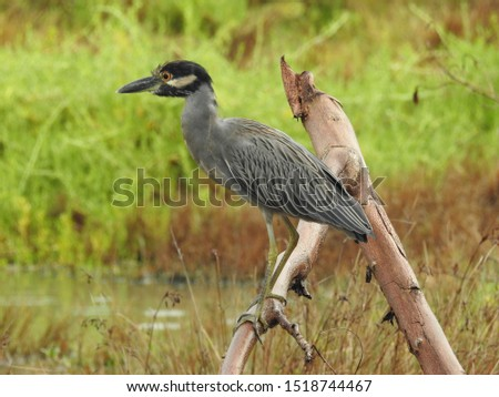 Yellow-Crowned Night Heron (Nyctanassa violacea) Perched on Branch