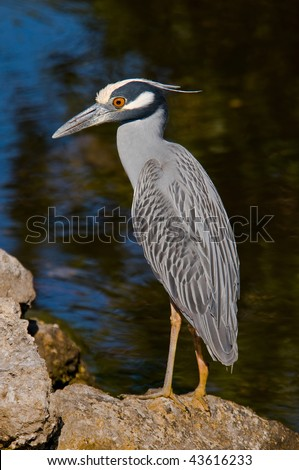 Yellow-crowned Night Heron on the rocks