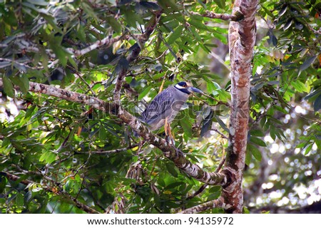 Yellow crowned night heron sits on branches in a canopy of a Costa Rican rainforest.