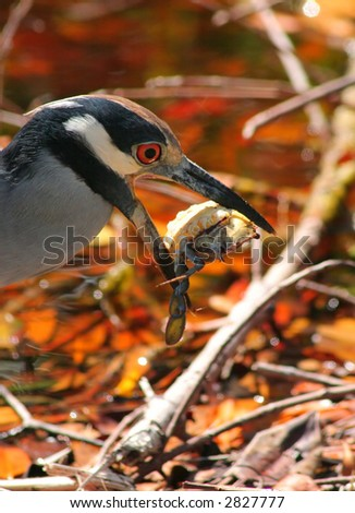 Yellow Crowned Night Heron with  Crab in Jaws