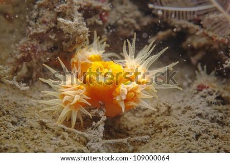 Yellow Cup Coral (Tubastraea coccinea)