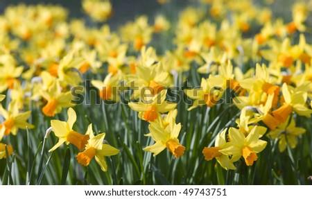 Yellow Daffodil - stock photo