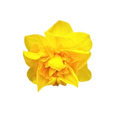 yellow daffodil flower on a white background