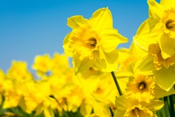 yellow daffodil flowers blooming in the spring
