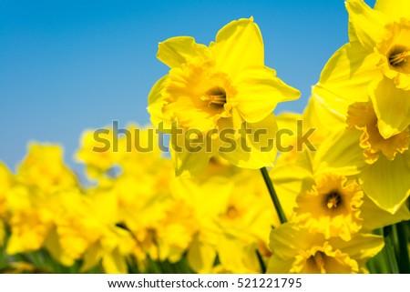 yellow daffodil flowers...