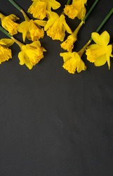 yellow daffodil flowers on black background ,flower in easter and spring