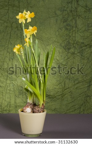 Yellow daffodil in a pot  over green textured background