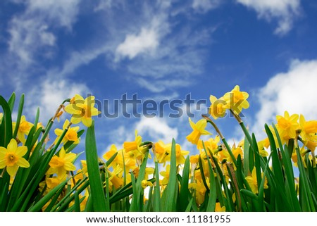 Yellow Daffodil in spring