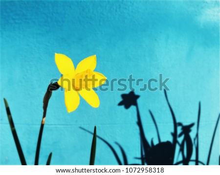 Yellow daffodil narcissus flower and plant with shadows on blue wall from a front garden of a house. Natural urban art. Shadow dance.