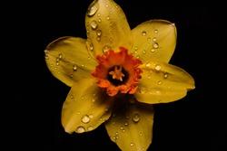 yellow daffodil (Narcissus tazetta) flower blossom on black background