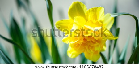 Yellow daffodil on natural green background in the garden, macro.Narcissus in vivo . Space for text