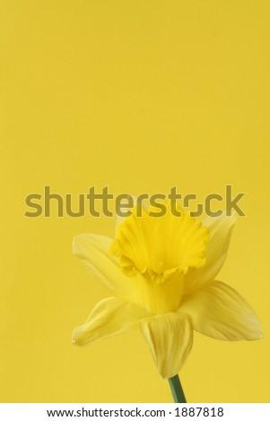 Yellow Daffodil on Yellow Background