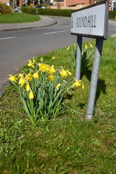 Yellow daffodils growing beneath a street sign