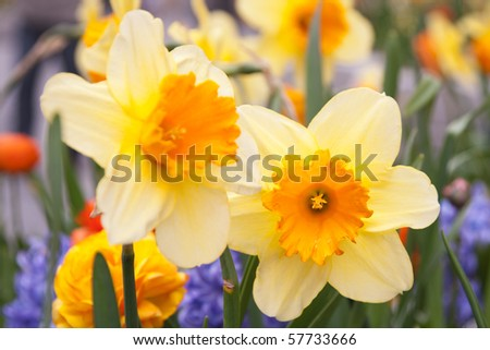 Yellow Daffodils in Flower Garden - stock photo