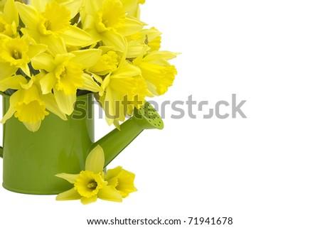 Yellow daffodils in green watering can