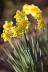 Yellow daffodils (Narcissus)