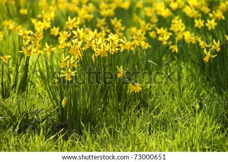 Yellow daffodils, spring flower
