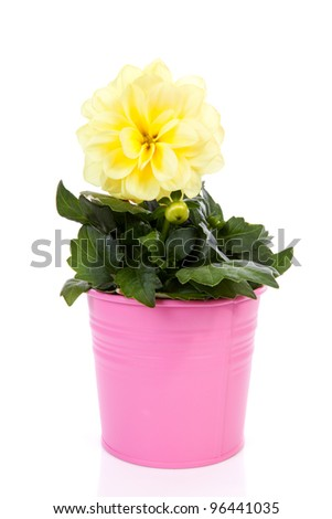 Yellow Dahlia flower in pink pot over white background