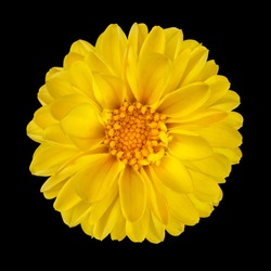 Yellow Dahlia Flower with Yellow Center Isolated on Black Background