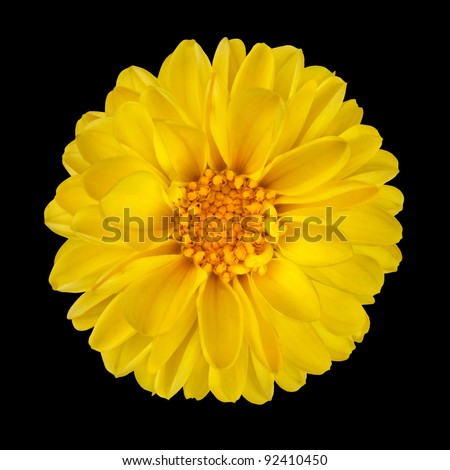 Yellow Dahlia Flower with Yellow Center Isolated on Black Background - stock photo