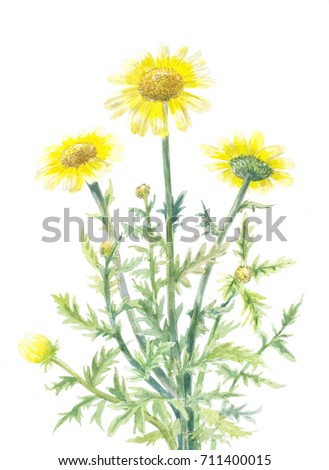 yellow daisies watercolor illustration isolated on white