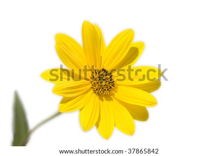 yellow daisy detail on white background