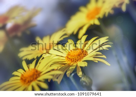 yellow daisy flower background of the flowers closeup