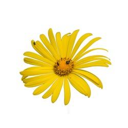 yellow daisy flower of leopard's bane (doronicum) on white background