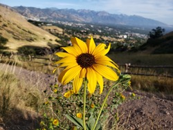 Yellow Daisy Flower on Hiking Trail with Mountains in the Background
