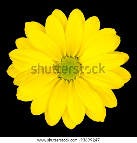 Yellow Daisy Flower with Green Center Isolated on Black Background