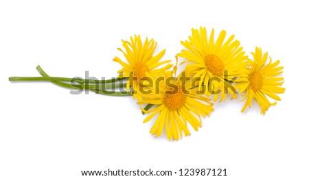 yellow daisy flowers over white