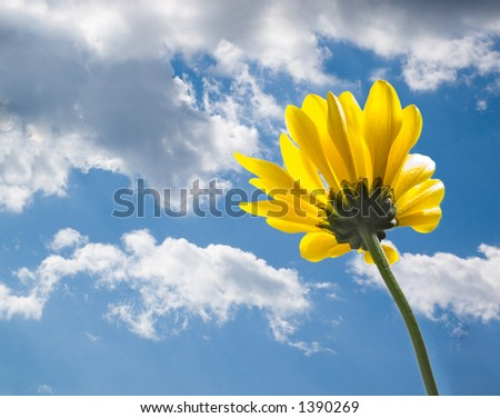 Yellow daisy from behind on blue summer sky