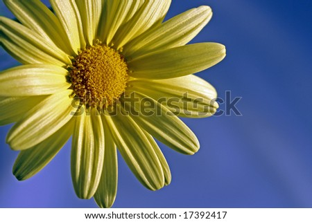 yellow daisy over blue background with copy space.