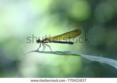Yellow Damselfy/Dragon Fly/Zygoptera sitting in the edge of green leaf #770425837