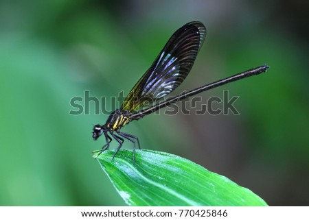 Yellow Damselfy/Dragon Fly/Zygoptera sitting in the edge of green leaf #770425846
