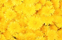 Yellow dandelion background