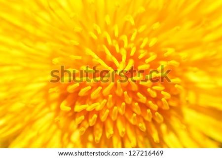 Yellow dandelion close up