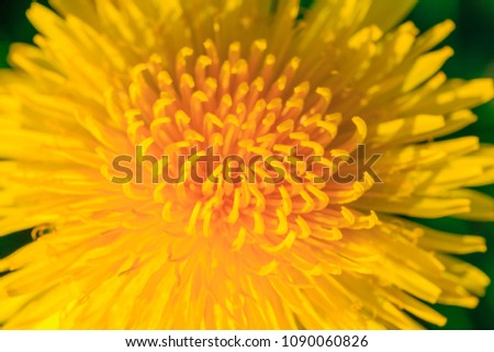 Yellow dandelion close up, macro, floral summer background #1090060826