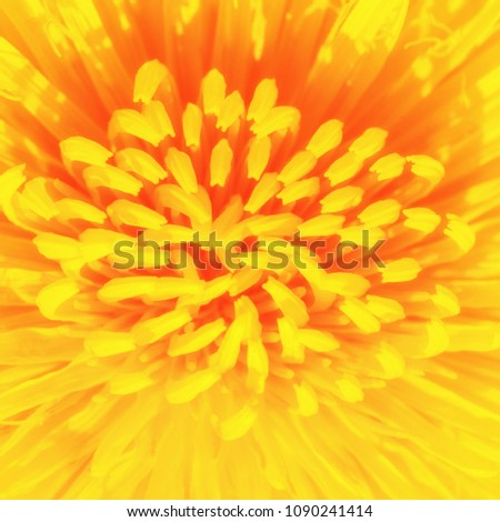 Yellow dandelion close up, macro, floral summer background #1090241414