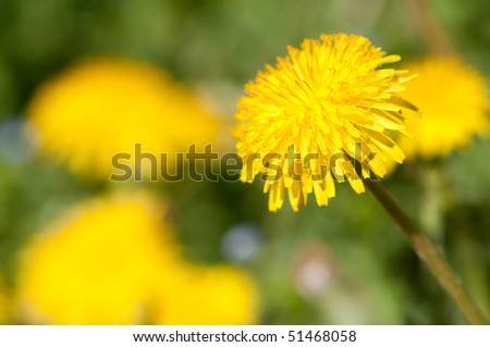 Yellow Dandelion Flower closeup