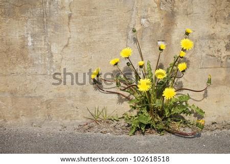 Yellow dandelion flowers growing trough asphalt in sunlight.